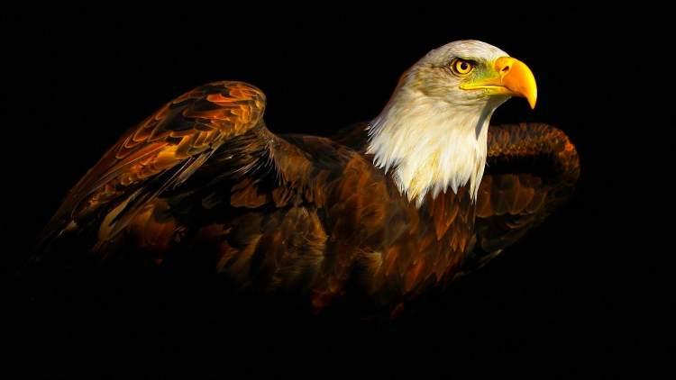 Aguila calva belleza de las aves rapaces