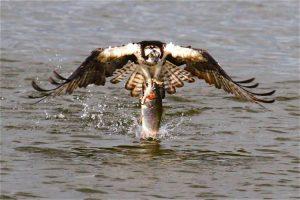 Ave de presa pescando