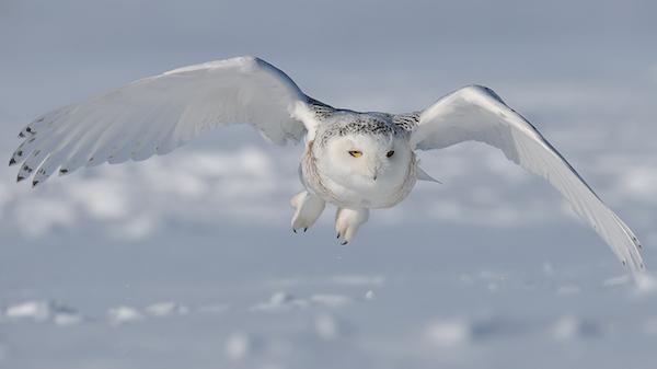 Búho nival en vuelo
