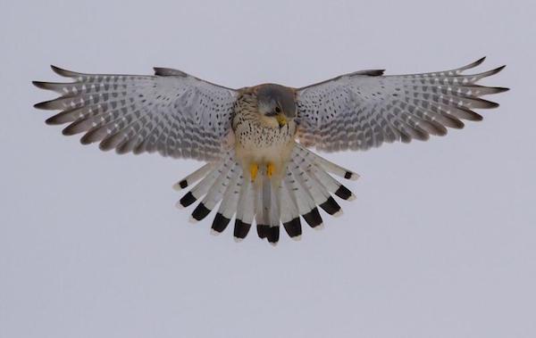 Cernícalo común en vuelo falco tinnunculos