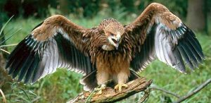 Eastern_imperial_eagle