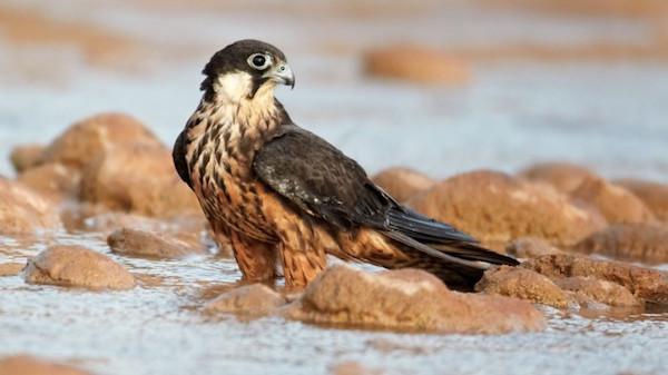 Eleonoras_falcon Falco eleonorae