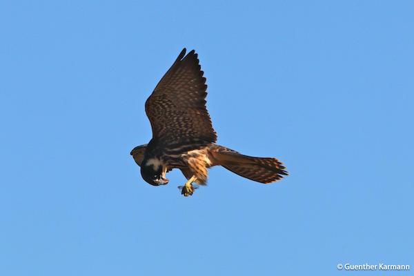 Eurasian Hobby Falco subbuteo alcotán europeo