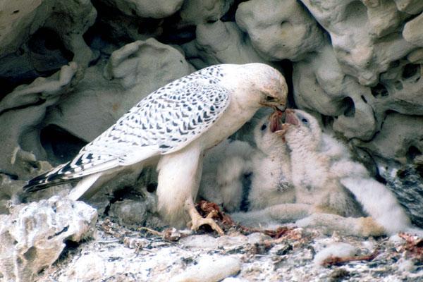 Halcón gerifalte alimentando a sus crías