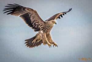 águila imperial oriental en vuelo