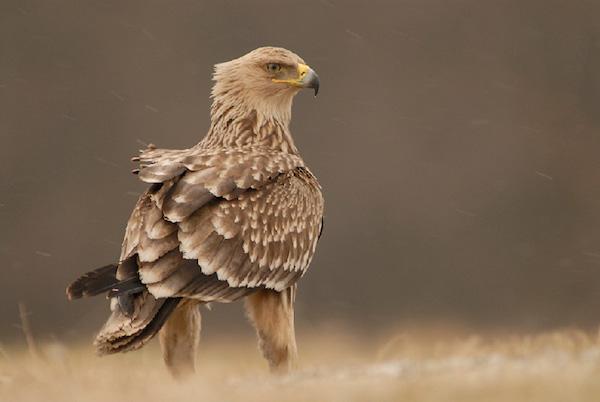 águila imperial oriental estampa