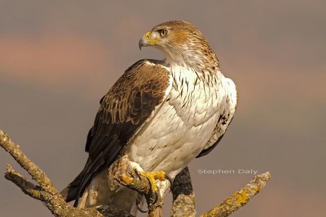 aquila fasciata aguila azor perdicera posada bonellis eagle