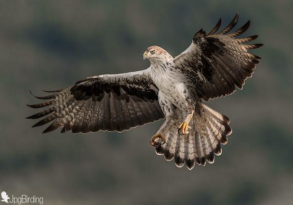 aquila fasciata aguila azor perdicera volando bonellis eagle