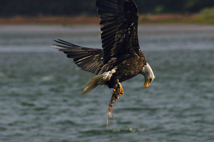 ave rapaz aguila calva cazando pescando
