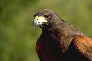 Aguila de harris ave rapaz