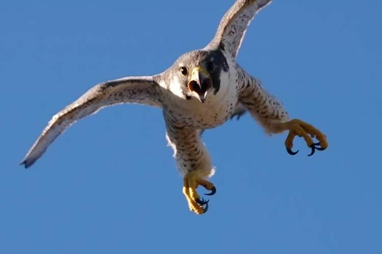ave rapaz halcon a punto de cazar