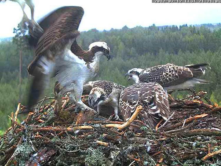 aves rapaces alimentando a los polluelos