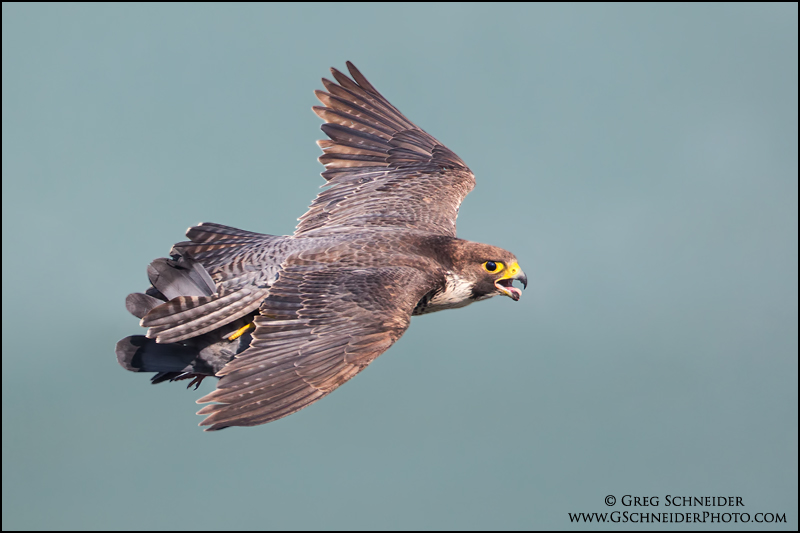 Halcón peregrino con una paloma como presa