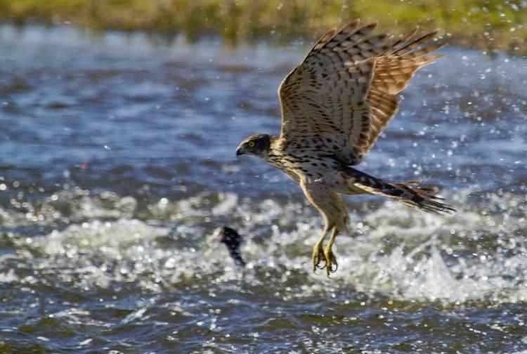 azor comun pescando en vuelo