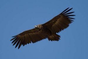 buitre-negro-vuelo