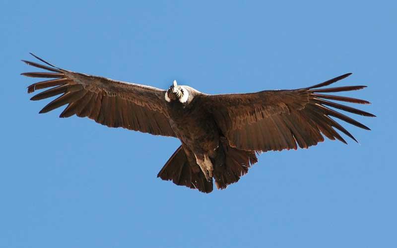 condor de los andes alas
