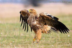 eastern-imperial-eagle