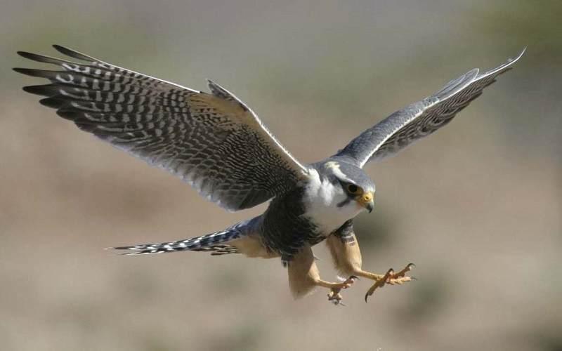 halcón peregrino posandose