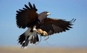 halcon de harris cetreria