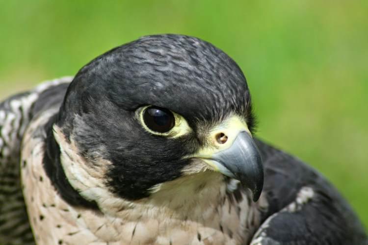 halcon peregrino aves rapaces