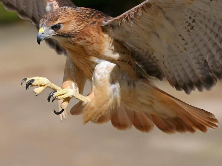 halcon peregrino vuelo y garras