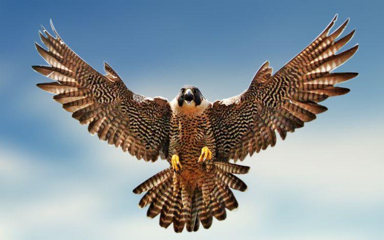 halcon peregrino vuelo