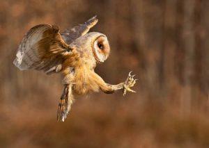 lechuza-en-vuelo