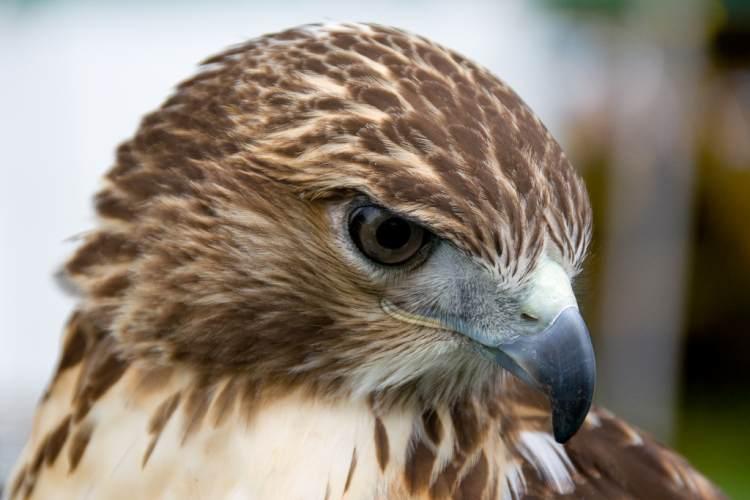 pico ave de presa