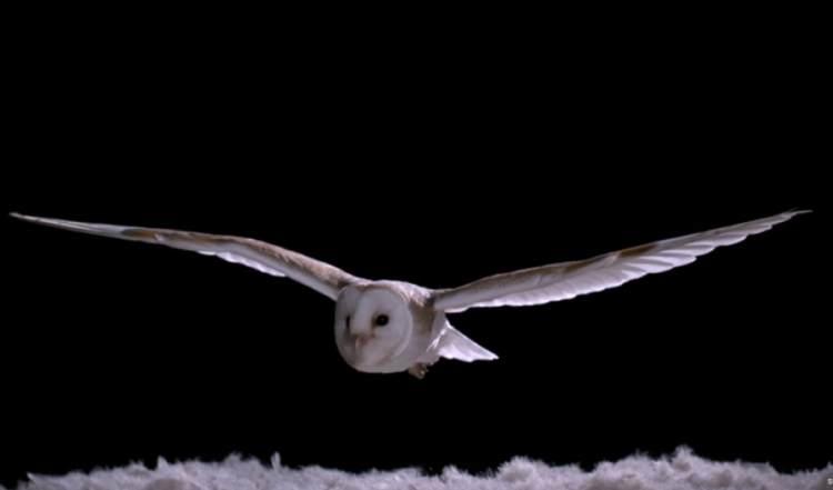 silencioso vuelo de la lechuza comun