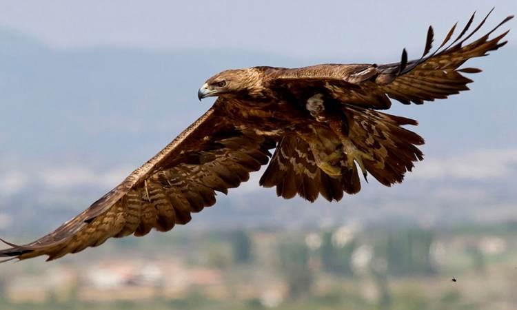 Resultado de imagen de El majestuoso vuelo del Aguila Real