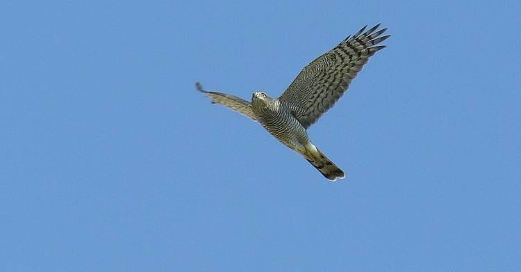 vuelo del azor comun