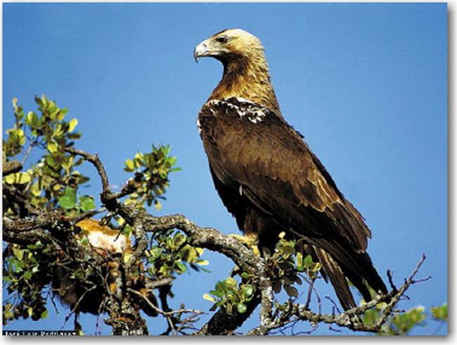 Águila Imperial Ibérica en árbol