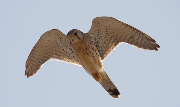 Cernícalo común en vuelo falco tinnunculos 1