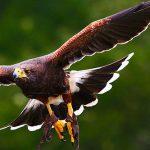 Cetreria con aves de presa
