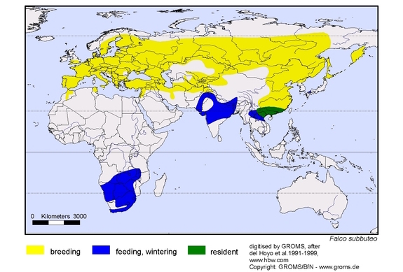Eurasian Hobby Falco subbuteo alcotán europeo distribución