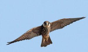 Eurasian Hobby Falco subbuteo alcotán europeo estampa en vuelo