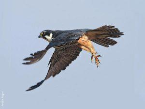 Eurasian Hobby Falco subbuteo alcotán europeo garras y vuelo