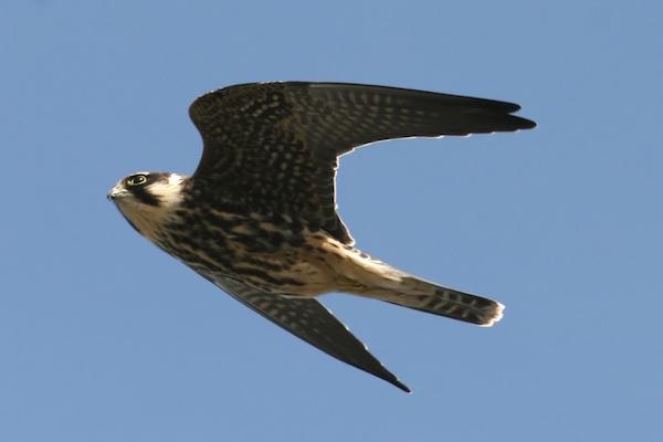 Eurasian Hobby Falco subbuteo alcotán europeo volando
