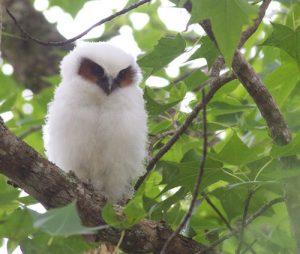 Lophostrix cristata buho corniblanco cuerno blanco crested owl blanco