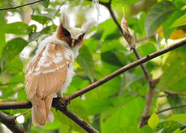 Lophostrix cristata buho corniblanco cuerno blanco crested owl cresta blanca