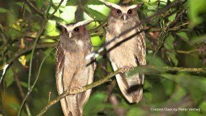 Lophostrix cristata buho corniblanco cuerno blanco crested owl pareja