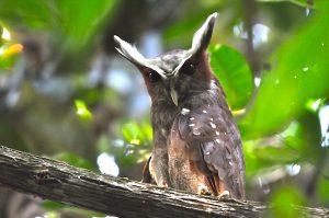 Lophostrix cristata buho corniblanco cuerno blanco crested owl posado