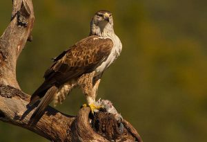 aquila fasciata aguila azor perdicera con presa bonellis eagle
