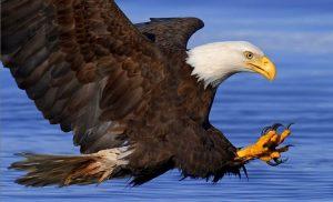 aves de presa, aguila calva cazando