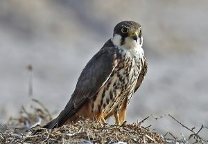 eurasian-hobby-alcotán europeo falco subbuteo