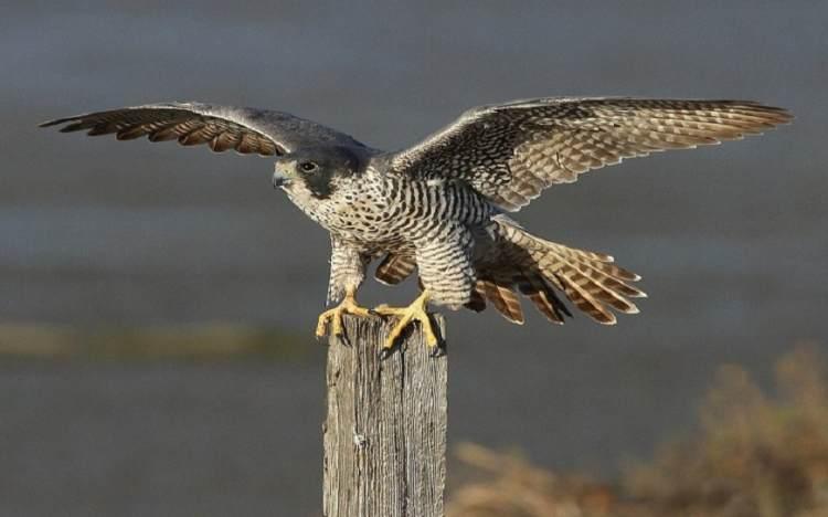 halcon peregrino alas
