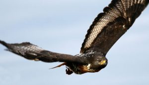 precioso vuelo de ave rapaz