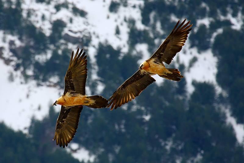 pareja de quebrantahuesos volando