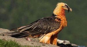 quebrantahuesos aves rapaces